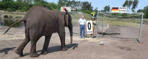 An elephant, famed for its psychic prediction of the results of football matches, has projected that Germany will defeat Ghana at the World Cup, making it difficult for the Black Stars to reach the second round of the competition in Brazil this month.
