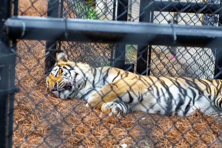 Louisiana State University installs barrier to protect tiger from coronavirus